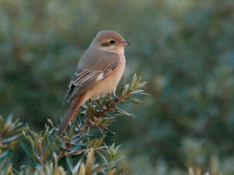 Daurische Klauwier Lanius isabellinus, adult vrouwtje, Maasvlakte, 27 augustus 2006 (Chris van Rijswijk / www.birdshooting.nl)