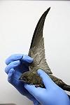 """Chris van Rijswijk <a href=""""http://www.birdshooting.nl"""">www.birdshooting.nl</a> · Vale Gierzwaluw"""