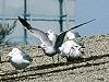"""Chris van Rijswijk <a href=""""http://www.birdshooting.nl"""">www.birdshooting.nl</a> · Audouin's Meeuw"""