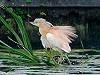 """Chris van Rijswijk <a href=""""http://www.birdshooting.nl"""">www.birdshooting.nl</a> · Ralreiger"""