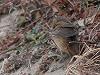 """Chris van Rijswijk <a href=""""http://www.birdshooting.nl"""">www.birdshooting.nl</a> · Siberische Sprinkhaanzanger"""