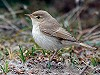 "Chris van Rijswijk <a href=""http://www.birdshooting.nl"">www.birdshooting.nl</a> · Kleine Spotvogel"