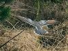 """Chris van Rijswijk <a href=""""http://www.birdshooting.nl"""">www.birdshooting.nl</a> · Kuifkoekoek"""