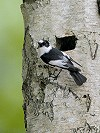 """Chris van Rijswijk <a href=""""http://www.birdshooting.nl"""">www.birdshooting.nl</a> · Withalsvliegenvanger"""