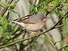 """Chris van Rijswijk <a href=""""http://www.birdshooting.nl"""">www.birdshooting.nl</a> · Baardgrasmus"""