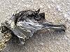 Jan Goedbloed · Grote Pijlstormvogel