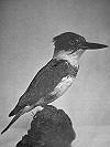 Herman H. ter Meer · Bandijsvogel