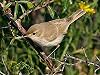 Loes van Rietschoten · Kleine Spotvogel