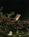 Karel Lemmens · Orpheusspotvogel
