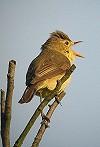 Wietze Janse · Orpheusspotvogel