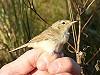 Henk Levering · Kleine Spotvogel