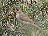 Jan Aalders · Kleine Spotvogel