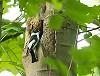 Frits Hoogeveen · Withalsvliegenvanger