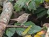 Jos van den Berg (birdingtexel.com) · Struikrietzanger