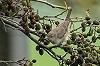 Diederik Kok · Grote Vale Spotvogel