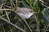 Jaap Denee · Grote Vale Spotvogel