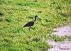 Peter Meininger · Zwarte Ibis